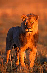 RF- Male Lion (Panthera leo) portrait in evening light. Etosha National Park, Namibia. (This image may be licensed either as rights managed or royalty free.) - Tony Heald