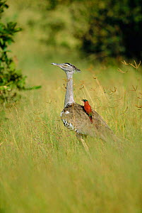 Kori bustard {Choriotis kori} with Carmine bee-eater {Merops nubicus} on back. Botswana - Richard Du Toit