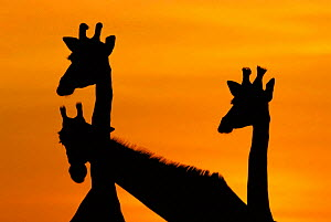 Giraffes, silhouetted of heads and necks at dawn {Giraffa camelopardalis} Botswana Savute-Chobe NP - Richard Du Toit