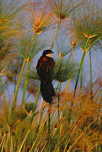 Coppery tailed coucal in reeds {Centropus cupreicaudus} Chobe river, Botswana - Richard Du Toit