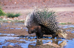 Porcupine at water {Hystrix africaeaustralis} Damaraland, Namibia  -  Tony Heald