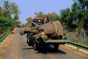 African elephant bull being relocated from Kruger NP to Mozambiqe {Loxodonta africana} 2002 - Richard Du Toit