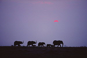 African elephants walking in line at dusk {Loxodonta africana} Chobe NP, Botswana - Richard Du Toit