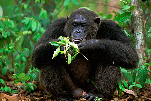 Alpha male Chimpanzee 'Frodo', 26-years-old, feeding on leaves {Pan troglodytes schweinfurtheii} Kasekela community, Gombe NP, Tanzania. 2002. Chimps have learnt that certain leaves can be used to tre... - Anup Shah