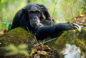 Male Chimpanzee resting on rock 'Pax' {Pan troglodytes schweinfurtheii}, 25-years-old, lowest ranking male of Kasekela community, Gombe NP, Tanzania. 2002 - Anup Shah
