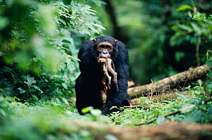 Male Chimpanzee 'Sheldon' knuckle walking carrying dead Red colobus monkey in jaws {Pan troglodytes schweinfurtheii}, 19-years-old, high ranking male of Kasekela community, Gombe NP, Tanzania. 2002 - Anup Shah