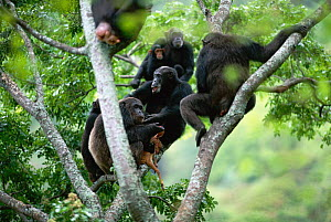 Chimpanzees gather around alpha male 'Frodo' begging for share of Bushbuck fawn prey {Pan troglodytes schweinfurtheii}, Kasekela community, Gombe NP, Tanzania. 2002  -  Anup Shah