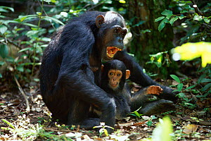 Female 20-year-old Chimpanzee 'Fanni' with 9-month-old 'Fundi' facing approaching male with appeasement gesture {Pan troglodytes schweinfurtheii}, Kasekela community, Gombe NP, Tanzania. 2002 - Anup Shah