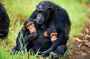 Female Chimpanzee 'Fanni' with offspring 'Fundi' (male, 17-months-old) and Fudge (male, 4-years-10-months-old) {Pan troglodytes schweinfurtheii}, Kasekela community, Gombe NP, Tanzania. 2002 - Anup Shah