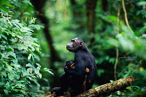 Female Chimpanzee 'Fanni' with 'Fundi' (male, 17-months-old) waiting for older offspring Fudge (male, 4-years-10-months-old) to catch up while travelling between feeding sites {Pan troglodytes schwein... - Anup Shah
