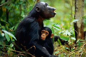Two-year-old male 'Fundi' holds on to mother 'Fanni' who is calling in answer to group call {Pan troglodytes schweinfurtheii}, Kasekela community, Gombe NP, Tanzania. 2002  -  Anup Shah