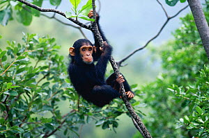 Female Chimpanzee 'Flirt' (daughter of Fifi) 2-years-7-months-old playing in tree {Pan troglodytes schweinfurtheii} Kasekela community, Gombe NP, Tanzania. 2002 - Anup Shah
