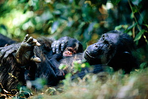 Female Chimpanzee 'Fifi' (44-years-old) rests with her ninth baby 'Furaha' (one-week-old) {Pan troglodytes schweinfurtheii} Kasekela community, Gombe NP, Tanzania. 2002 - Anup Shah