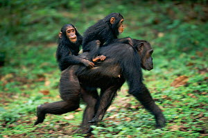 Chimpanzee mother 'Gremlin' carries female twins 'Golden' (in front) and 'Glitta' (behind) {Pan troglodytes schweinfurtheii} Kasekela community, Gombe NP, Tanzania. 2002 - Anup Shah