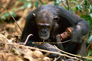 Female Chimpanzee 'Gremlin' demonstrates to offspring how to use a stem as a tool to remove termites from a termite mound {Pan troglodytes schweinfurtheii} Kasekela community, Gombe NP, Tanzania. 2002 - Anup Shah
