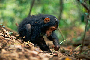 Female juvenile Chimpanzee 'Golden' has learnt from her mother how to use a stem as a tool to remove termites from a termite mound {Pan troglodytes schweinfurtheii} Kasekela community, Gombe NP, Tanza...  -  Anup Shah