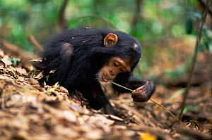 Young female Chimpanzee 'Golden' has learnt from her mother how to use a stem as a tool to remove termites from a termite mound {Pan troglodytes schweinfurtheii} Kasekela community, Gombe NP, Tanzania... - Anup Shah