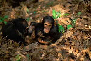 Female Chimpanzee twins 'Golden' and 'Glitta' have learnt from their mother to use stem as a tool to remove termites from a termite mound {Pan troglodytes schweinfurtheii} Kasekela community, Gombe NP... - Anup Shah