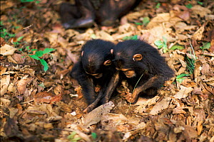 Female Chimpanzee twins 'Golden' and 'Glitta' use stem as a tool to remove termites from a termite mound {Pan troglodytes schweinfurtheii} Kasekela community, Gombe NP, Tanzania. 2002  -  Anup Shah
