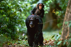 Female Chimpanzee 'Patti' (39-years-old) carries jockey-riding offspring 'Tarzan' on her back {Pan troglodytes schweinfurtheii}, Kasekela community, Gombe NP, Tanzania. 2002  -  Anup Shah