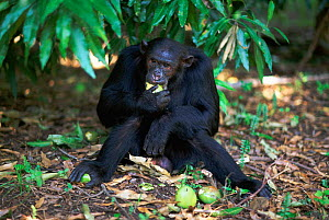 Ousted alpha male Chimpanzee 'Freud'  feeding on mangoes, {Pan troglodytes schweinfurtheii} Kasekela community, Gombe NP, Tanzania. 2002  -  Anup Shah