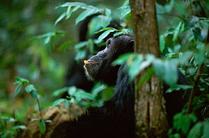 Adult Chimpanzee sitting while feeding and 'thinking' {Pan troglodytes schweinfurtheii} Kasekela community, Gombe NP, Tanzania. 2002  -  Anup Shah