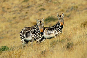 Two Mountain zebras {Equus zebra} Mountain Zebra NP, South Africa  -  Richard Du Toit