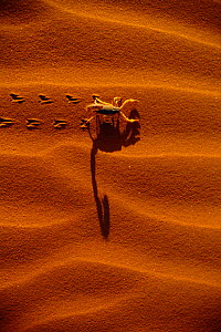 Scorpion crossing sand dune leaving tracks {Scorpiones} Namib Naukluft P, Namibia - Richard Du Toit
