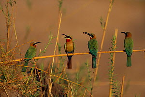 Four White fronted bee eaters perched on stem {Merops bullockoides} Chobe NP, Botswana - Richard Du Toit