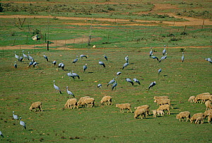 Stanley cranes / Blue cranes {Anthropoides paradisea} feeding beside sheep. S Africa Southern Cape - Richard Du Toit