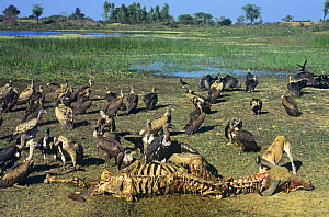 Long billed vultures (Gyps indicus) and a Wild dog feeding on a Buffalo carcass, Rajasthan, India, critically endangered - Pete Oxford