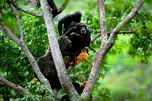 Chimpanzees gather round alpha male 'Frodo' in tree with dead Bushbuck fawn {Pan troglodytes schweinfurtheii} Gombe NP, Tanzania. 2002 - Anup Shah