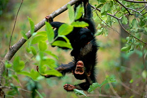 Young Chimpanzee hanging upside down in tree {Pan troglodytes schweinfurtheii} Gombe NP, Tanzania. 2002 - Anup Shah