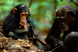 Young male Chimpanzee 'Gold' 3-years-3-months-old, watches mother 'Gremlin' use stick as tool to catch termites {Pan troglodytes schweinfurtheii} Gombe NP, Tanzania. 2002  -  Anup Shah