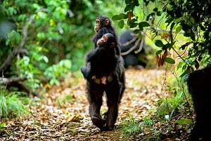 Female Chimpanzee 'Gremlin' 31-years-old, carrying twin daughters Golden and Glitter, 3-years-3-monhts-old, jockey riding {Pan troglodytes schweinfurtheii} Gombe NP, Tanzania. 2002 - Anup Shah