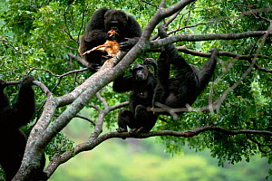 Chimpanzees gather round alpha male 'Frodo' in tree feeding on dead Bushbuck fawn {Pan troglodytes schweinfurtheii} Gombe NP, Tanzania. 2002 - Anup Shah