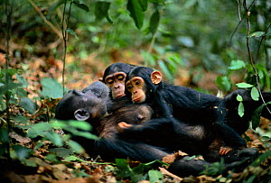 Female Chimpanzee 'Fanni' 20-years-old, resting with sons Fundi, 17-months-old, and Fudge, 5-years-old {Pan troglodytes schweinfurtheii} Gombe NP, Tanzania. 2002 - Anup Shah
