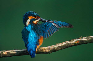 Common kingfisher preening wing feathers {Alcedo atthis}  Brasschaat, Belgium, Europe. Antibacterial preen oil is secreted at the base of the tail and serves to keep the feathers sterile, elastic and...  -  BERNARD CASTELEIN