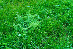 Fern in grassland Bayerischer Wald NP, Germany  -  Christoph Becker