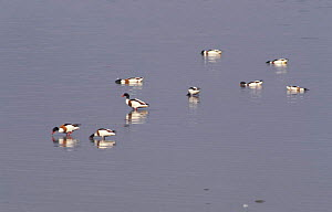 Group of Shelduck feeding in shallows {Tadorna tadorna} Netherlands  -  Flip de Nooyer