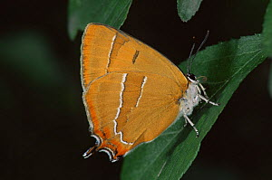 Brown hairstreak butterfly {Thecla betulae} on leaf, Germany - Hans Christoph Kappel
