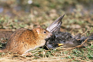 Brown rat with blackbird prey {Rattus norvegicus} Worcestershire, UK February  -  Mike Wilkes