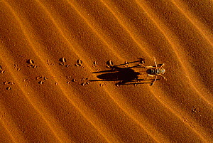 King cricket leaving tracks on sand {Mimnermidae} Namib Naukluft Park, Namibia  -  Richard Du Toit