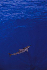 One Spinner dolphin near sea surface {Stenella longirostris} Papua New Guinea  -  Jurgen Freund