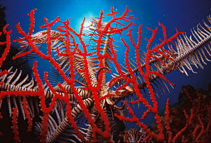 Feather star {Crinoidea} on fan coral, Indo Pacific - Jurgen Freund