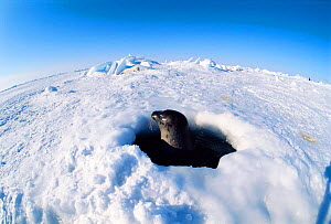 Harp seal surfacing at breathing hole searching for pup {Phoca groenlandicus} Magdalen Is, Canada, Atlantic - Jurgen Freund