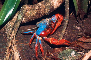 Christmas island red crab with radio transmitter fitted to shell {Gecarcoidea natalis} Christmas island, Pacific.  -  Jurgen Freund
