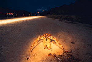 Coconut / Robber crab {Birgus latro} feeds on dead Red crab {Gecarcoidea natalis} at night. Christmas Is, Pacific  -  Jurgen Freund