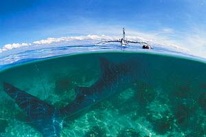 Whale shark kept in shallow water before slaughter {Rhinicodon typus} Pamilican, Philippines  -  Jurgen Freund