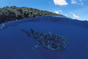Whale shark {Rhincodon typus}, split level, Christmas Island, Pacific Ocean - Jurgen Freund